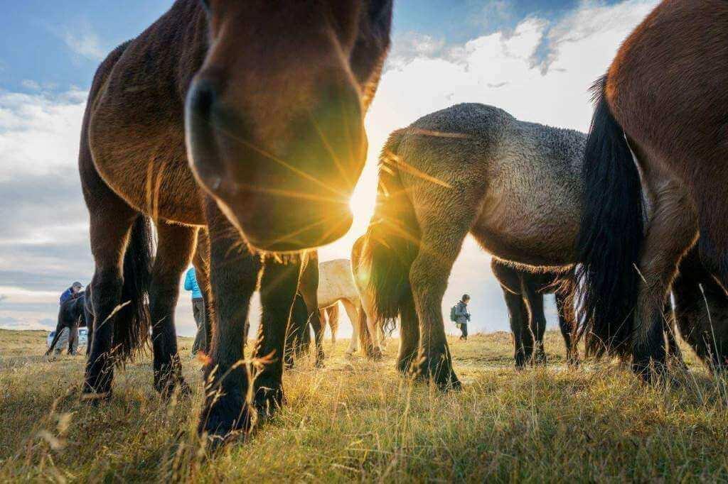 © Horses of Iceland